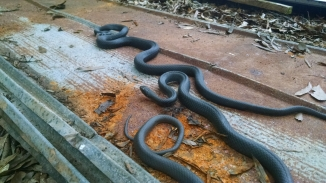Some friendly black racers guard the stacks against rodent invasions.
